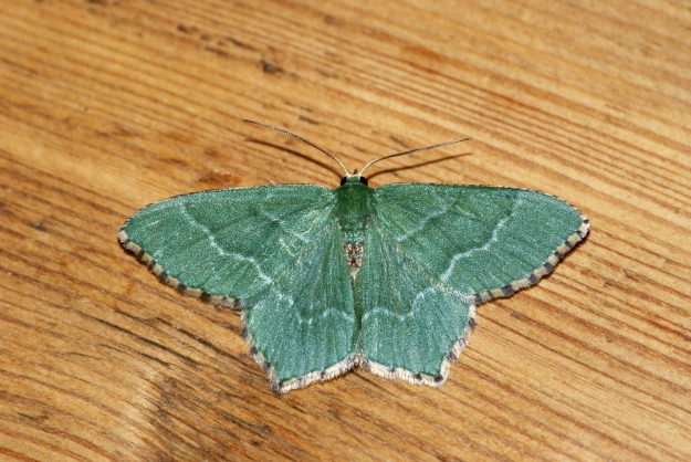 By Ben Sale from UK ([1669] Common Emerald (Hemithea aestivaria)) [CC BY 2.0 (http://creativecommons.org/licenses/by/2.0)], via Wikimedia Commons