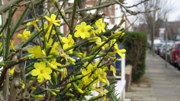 Winter jasmine (Jasminum nudiflorum)