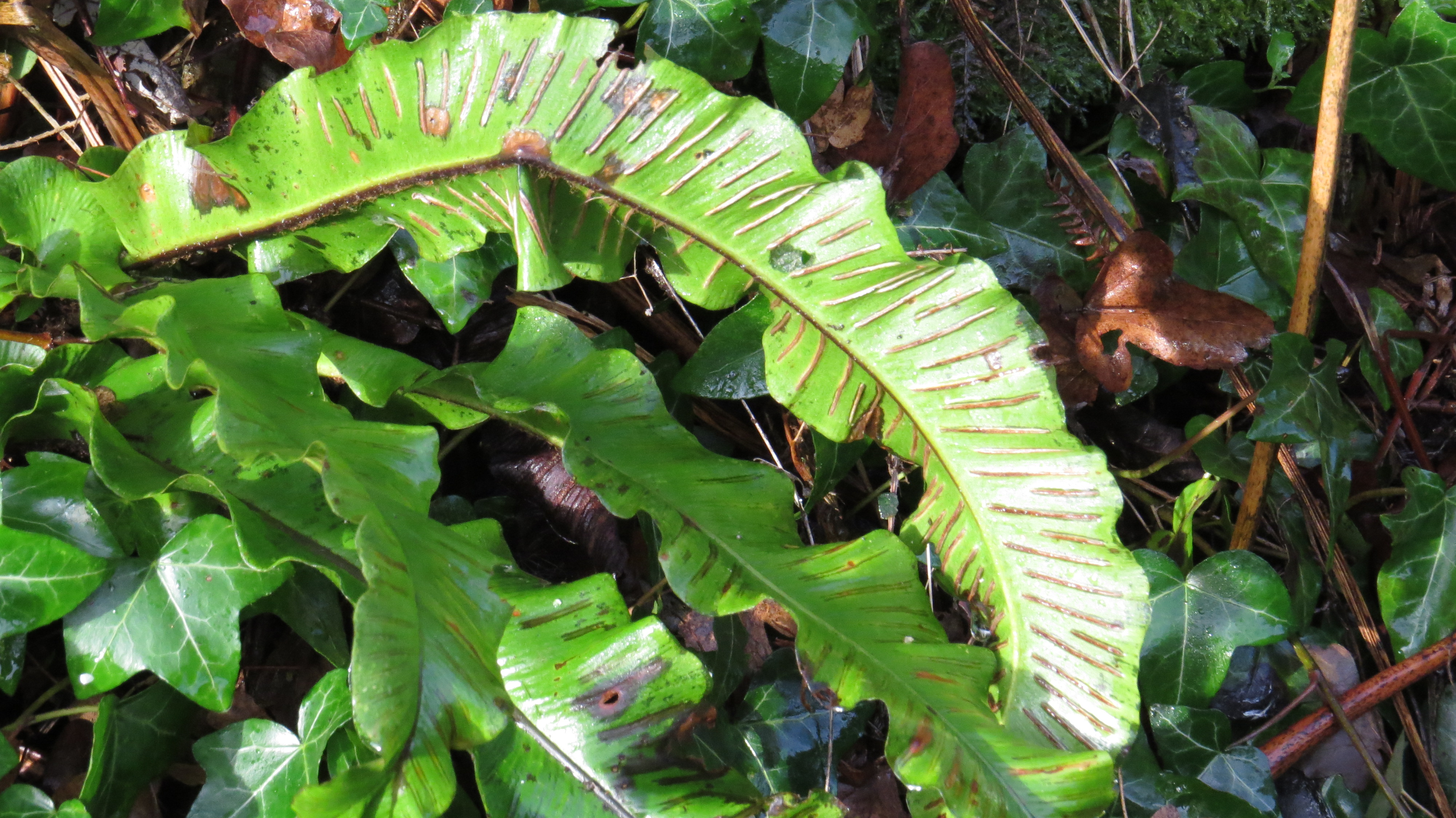 Wednesday Weed Harts Tongue Fern Bug Woman Adventures in London