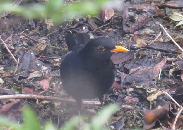 Adult male blackbird