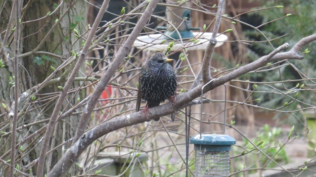 Starling waiting for a go at the suet pellets. The blue bit at the base of the bill tells us that this bird is a male