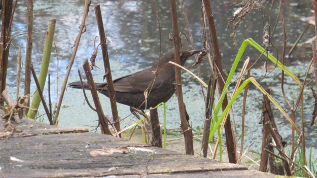 Female blackbird by the pond