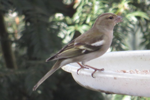 Female chaffinch on seed feeder