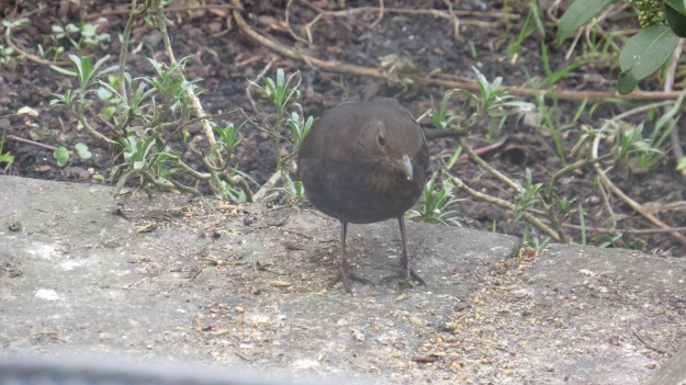 Female blackbird picking up the crumbs from the birdtable