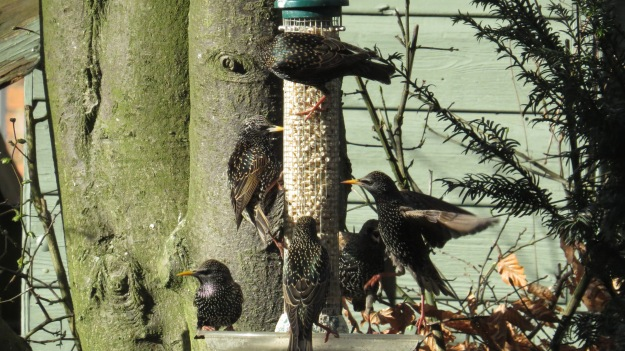 Starlings getting stuck in to the suet pellets