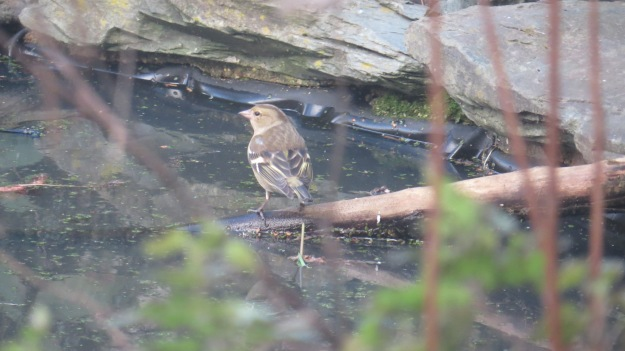 Female chaffinch drinking from the pond