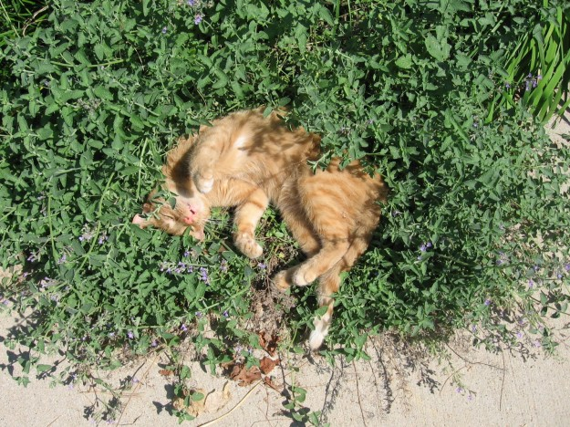 By T (too much cat mint Uploaded by snowmanradio) [CC BY 2.0 (http://creativecommons.org/licenses/by/2.0)], via Wikimedia Commons