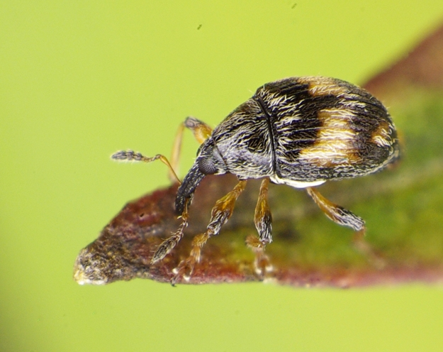 Photo Three (Flower weevil) - By Siga (Own work) [CC BY-SA 4.0 (http://creativecommons.org/licenses/by-sa/4.0)], via Wikimedia Commons