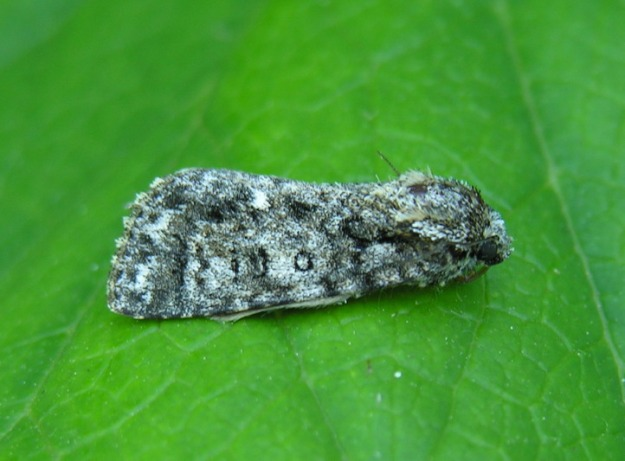 Photo One (Knotgrass moth) - CC BY-SA 3.0, https://commons.wikimedia.org/w/index.php?curid=387198