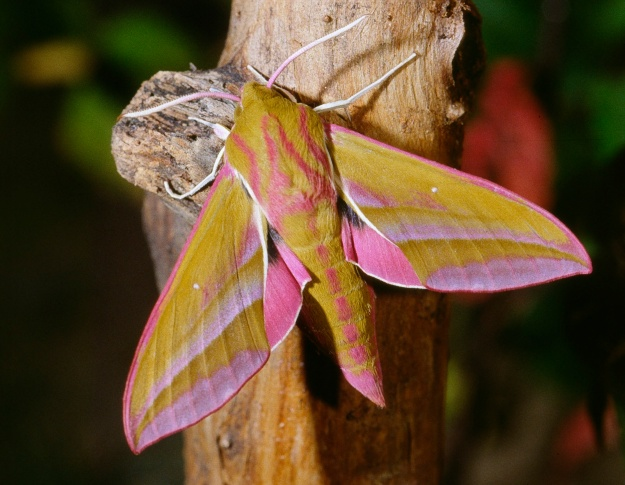 Photo Six (Elephant Hawk Moth) by By jean pierre Hamon (14) - Own work, CC BY-SA 3.0, https://commons.wikimedia.org/w/index.php?curid=2845396