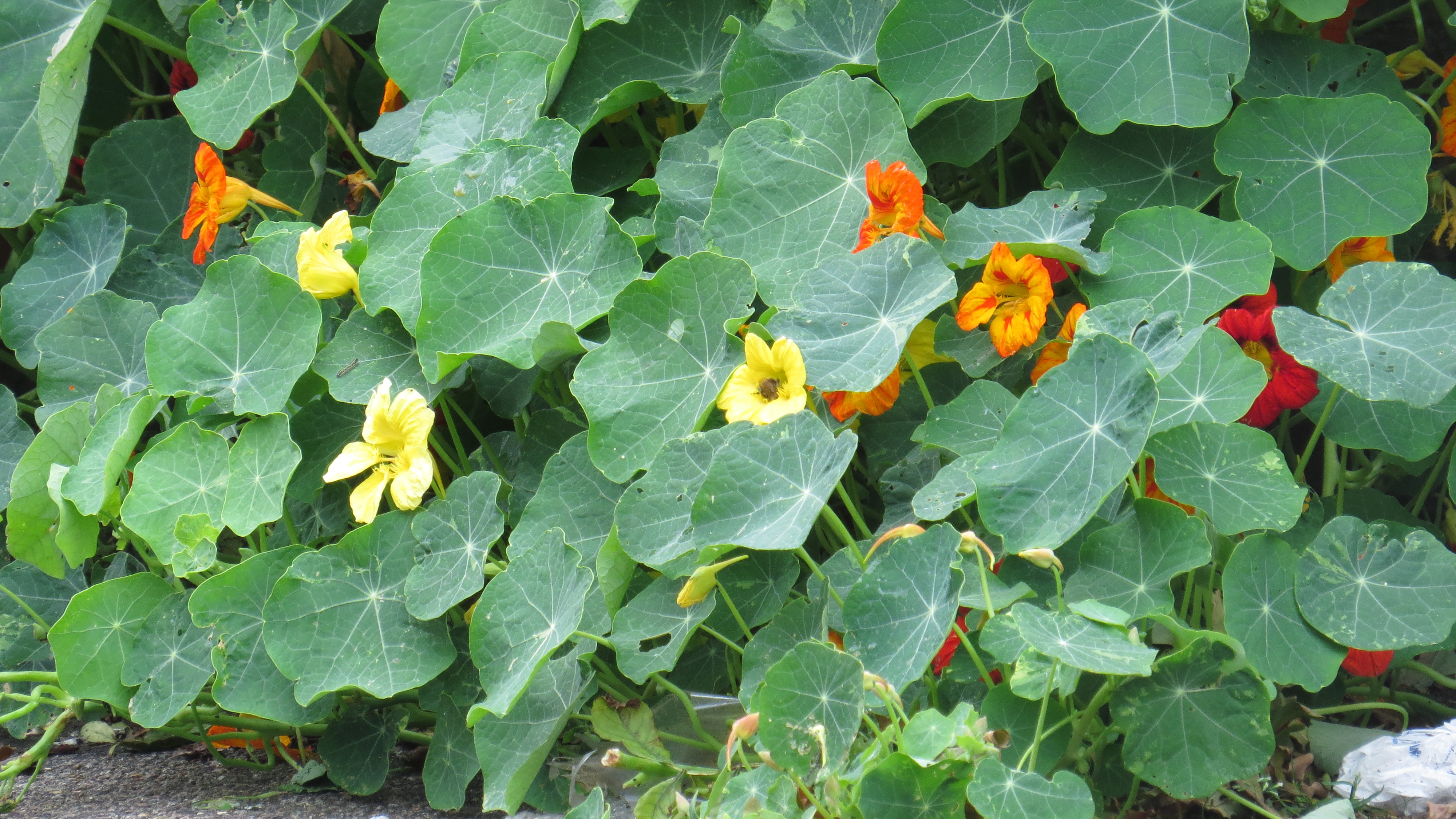 Buy culinary herbs plants nasturtium plants - I Have Mentioned That Nasturtiums Attract A Lot Of Aphids And One Reason For Planting This Exotic Looking Interloper Is As A Companion Plant As The Aphids