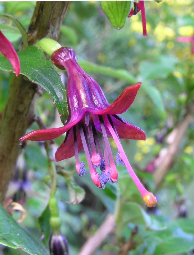 Photo Two (Fuchsia Tree) by By I, Tony Wills, CC BY 2.5, https://commons.wikimedia.org/w/index.php?curid=3016263