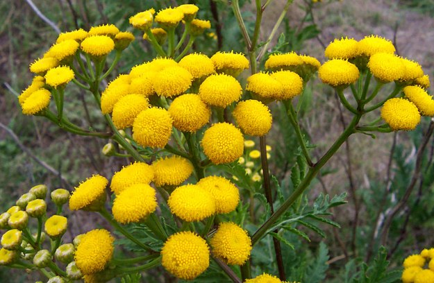 Photo One (Tansy) - CC BY-SA 3.0, https://commons.wikimedia.org/w/index.php?curid=171549