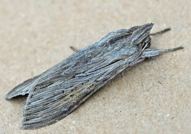 Photo Three (Shark moth) by By ©entomart, Attribution, https://commons.wikimedia.org/w/index.php?curid=1250728