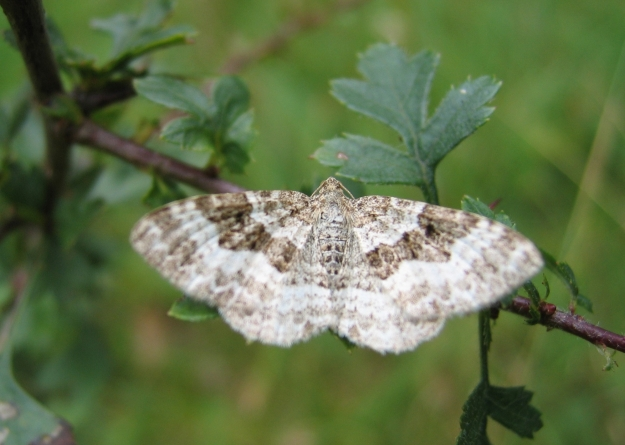 Photo One (Common Carpet) by CC BY-SA 3.0, https://commons.wikimedia.org/w/index.php?curid=284893