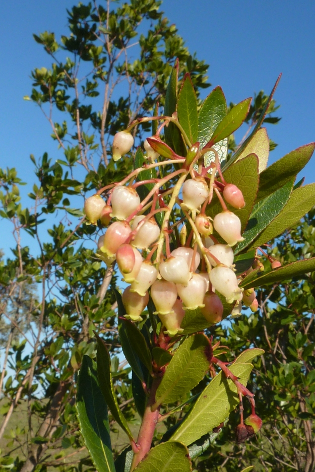 Photo One (Flowers) by By muffinn from Worcester, UK (Ameixial - strawberry tree Arbutus unedo flowers) [CC BY 2.0 (http://creativecommons.org/licenses/by/2.0)], via Wikimedia Commons