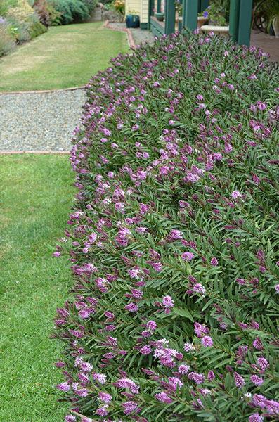 Photo Three by https://plantgrowers.blob.core.windows.net/files/Garden/lbi-h-hedge-withan-edge-003.jpg