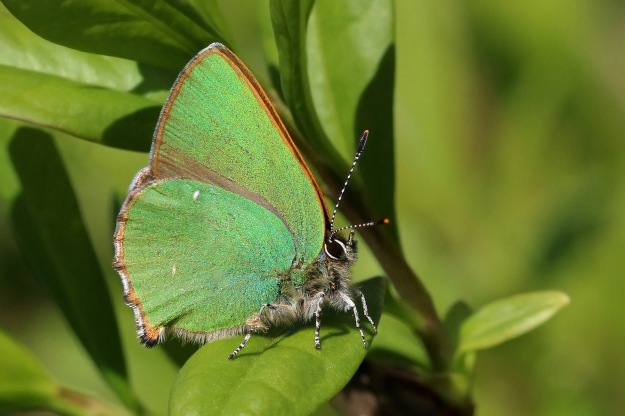 Photo Four (Green Hairstreak) by By Charlesjsharp - Own work, from Sharp Photography, sharpphotography, CC BY-SA 4.0, https://commons.wikimedia.org/w/index.php?curid=39829980