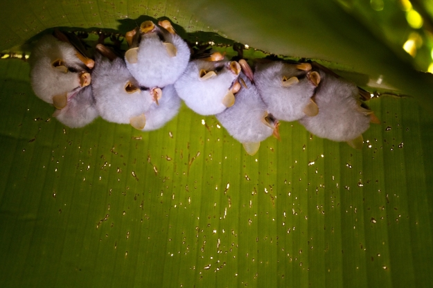 Photo Two (Honduran White Bat) by Wanja Krah at https://www.flickr.com/photos/wanjakrah/4022215035