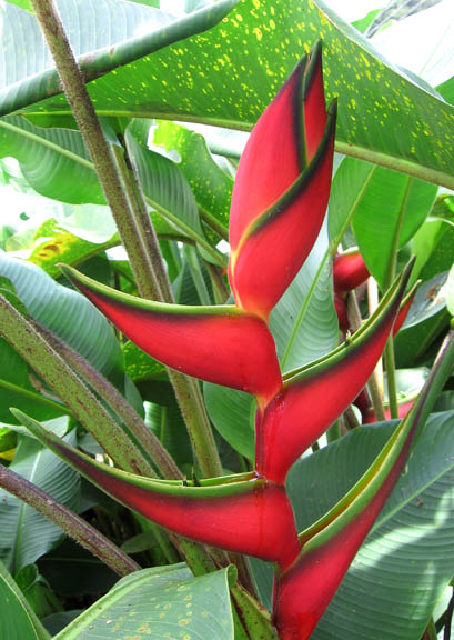 Photo Four (Heliconia caribaea) by Conrad Munro [GFDL (http://www.gnu.org/copyleft/fdl.html), CC-BY-SA-3.0 (http://creativecommons.org/licenses/by-sa/3.0/) or CC BY-SA 2.5-2.0-1.0 (https://creativecommons.org/licenses/by-sa/2.5-2.0-1.0)], via Wikimedia Commons