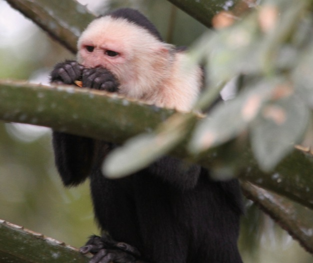 Capuchin Monkey Feb 18
