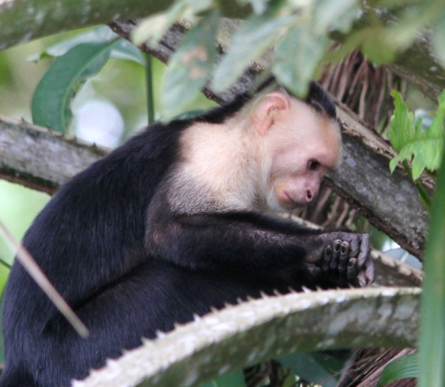 Capuchin Monkey1 Feb 18