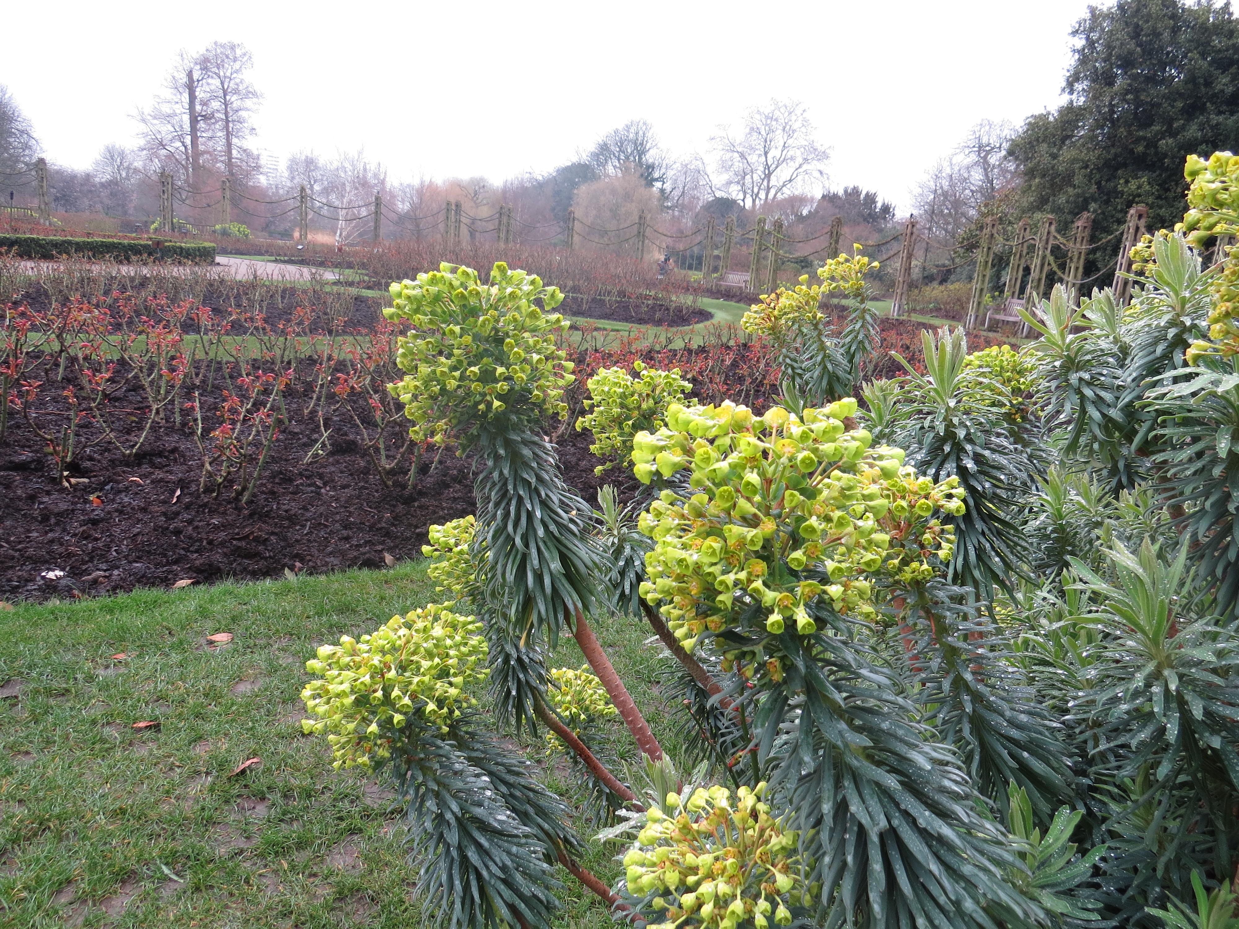 Wednesday Weed Mediterranean Spurge Euphorbia Characias Ssp