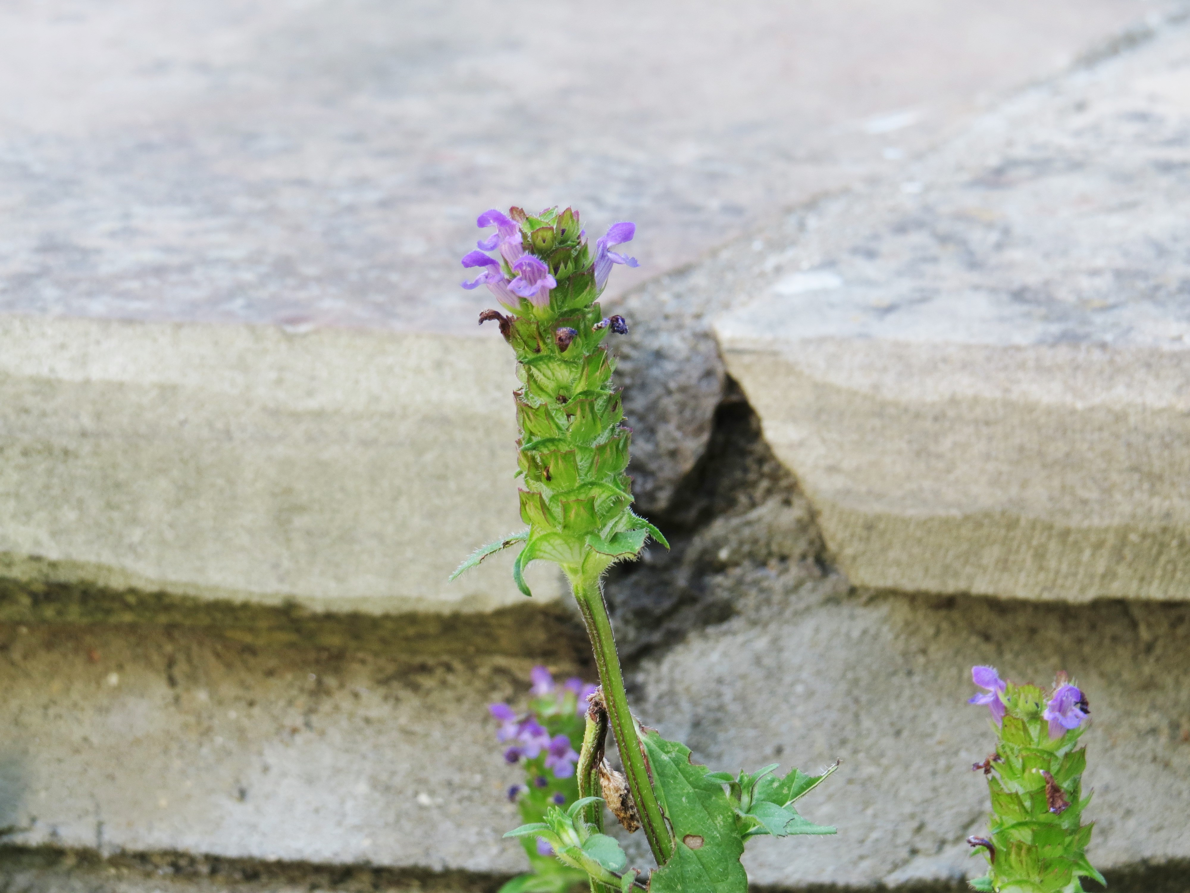 Wednesday Weed – Selfheal | Bug Woman – Adventures in London