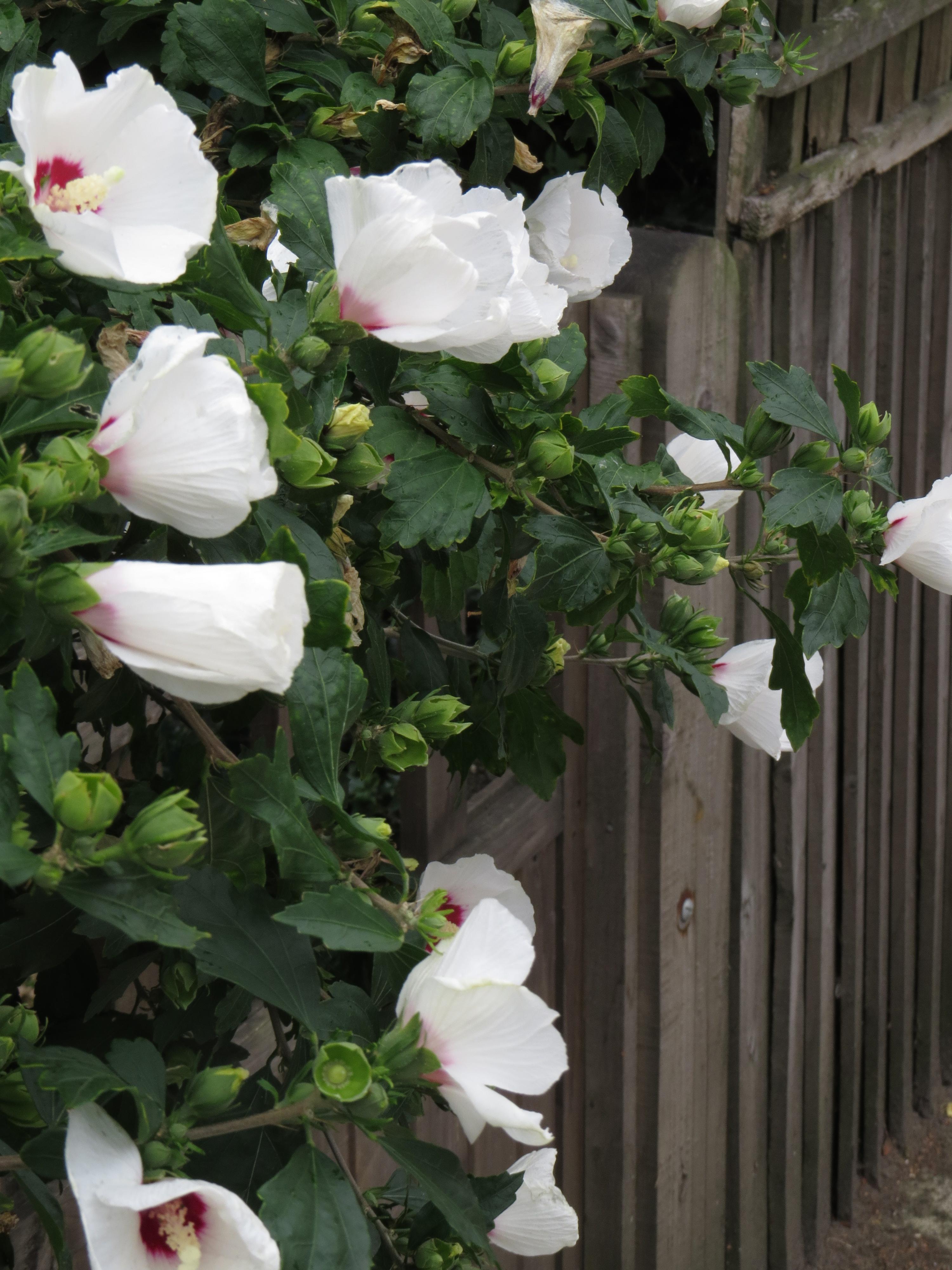 Wednesday Weed Hibiscus Bug Woman Adventures In London