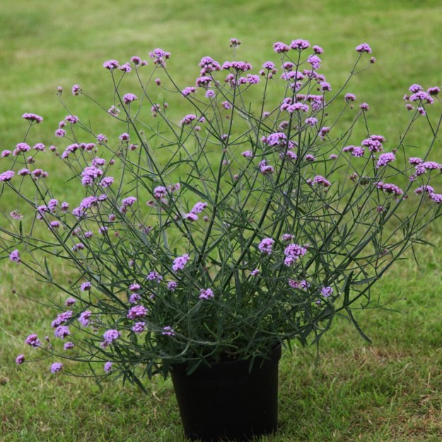 Photo Two from https://www.crocus.co.uk/plants/_/verbena-bonariensis-lollipop-pbr/classid.2000017445/