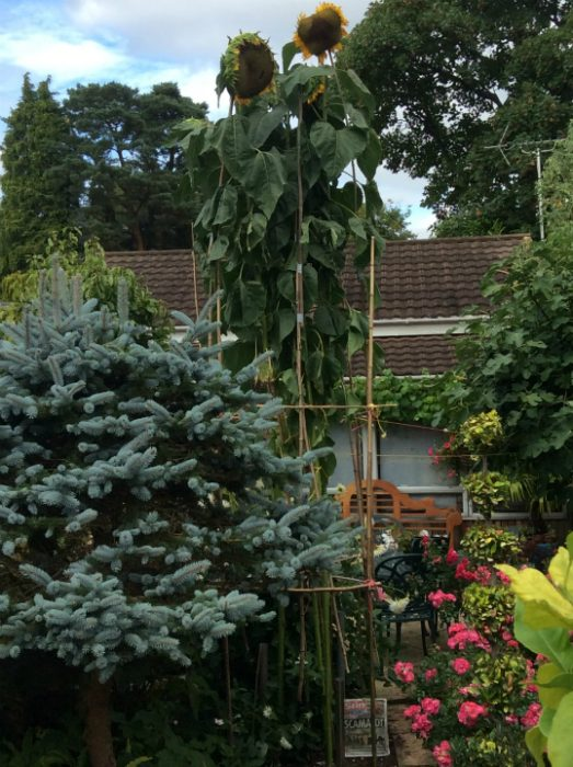 Photo Three from https://hub.suttons.co.uk/blog/general/tallest-sunflower-competition-2016
