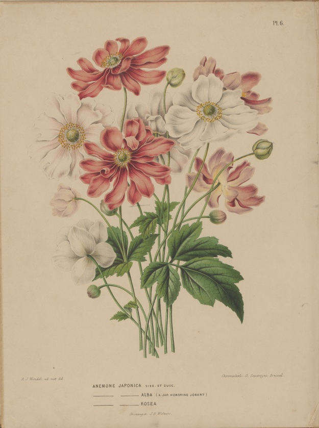 Photo One by By Abraham Jacobus Wendel - book by H. Witte and A J Wendel: Flora: afbeeldingen en beschrijvingen van boomen, heesters, éénjarige planten, enz. voorkomende in de Nederlandsche tuinen, Groningen: Wolters, [1868]., Public Domain, https://commons.wikimedia.org/w/index.php?curid=53895628