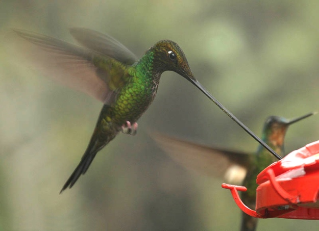 Photo Two by By Michael Woodruff from Spokane, Washington, USA - Sword-billed Hummingbird, CC BY-SA 2.0, https://commons.wikimedia.org/w/index.php?curid=5165020
