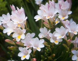 Photo Two from http://pza.sanbi.org/freesia-leichtlinii-subsp-alba