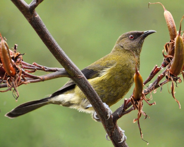 Photo Three by By Sid Mosdell from New Zealand - Bellbird, CC BY 2.0, https://commons.wikimedia.org/w/index.php?curid=21871769