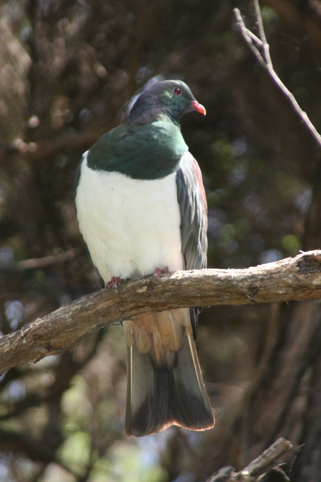 Photo One by By Duncan - originally posted to Flickr as Kereru, CC BY-SA 2.0, https://commons.wikimedia.org/w/index.php?curid=7903580