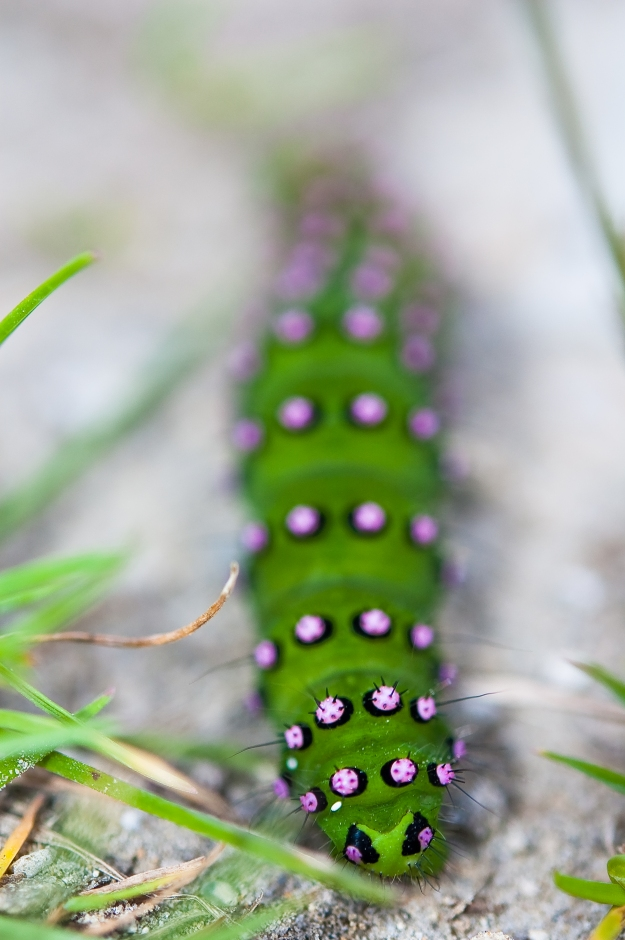 Photo Four by By Thomas Tolkien from Scarborough, UK - Emperor Moth caterpillarUploaded by herkuleshippo, CC BY 2.0, https://commons.wikimedia.org/w/index.php?curid=12704087