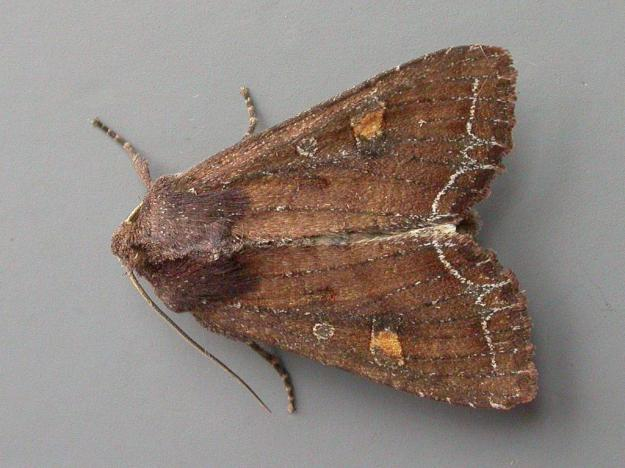 Photo Two by Paul Kitchener from https://butterfly-conservation.org/moths/bright-line-brown-eye