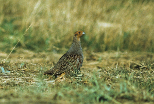 Photo One by By Francesco Veronesi from Italy - Grey partridge - Neusiedl - Austria0002, CC BY-SA 2.0, https://commons.wikimedia.org/w/index.php?curid=39980478