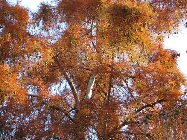 Swamp cypress