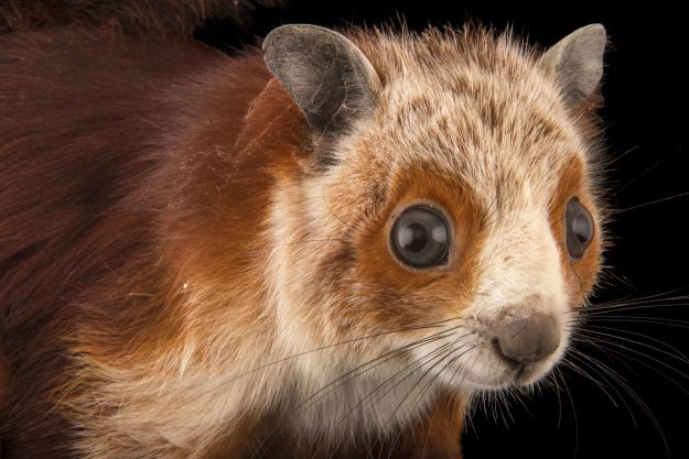Photo Four by Joel Sartore, from https://www.nationalgeographic.org/media/photo-ark-red-and-white-giant-flying-squirrel/