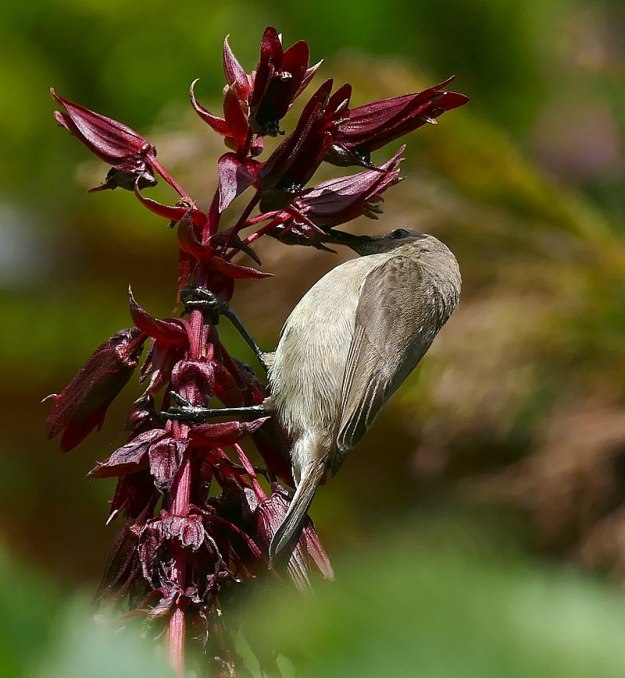 Photo Four by By Bernard DUPONT from FRANCE - Southern Double-collared Sunbird (Cinnyris chalibeus) female or juvenile on Honey Flower (Melianthus major), CC BY-SA 2.0, https://commons.wikimedia.org/w/index.php?curid=56466815