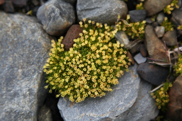 Photo Two by By Liam Quinn - Flickr: Antarctic Pearlwort, CC BY-SA 2.0, https://commons.wikimedia.org/w/index.php?curid=15525940