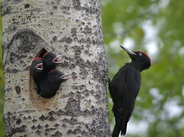 Photo Four by By Alastair Rae from London, United Kingdom - Black Woodpecker, CC BY-SA 2.0, https://commons.wikimedia.org/w/index.php?curid=29371 Black woodpecker (Dryocopus martius)
