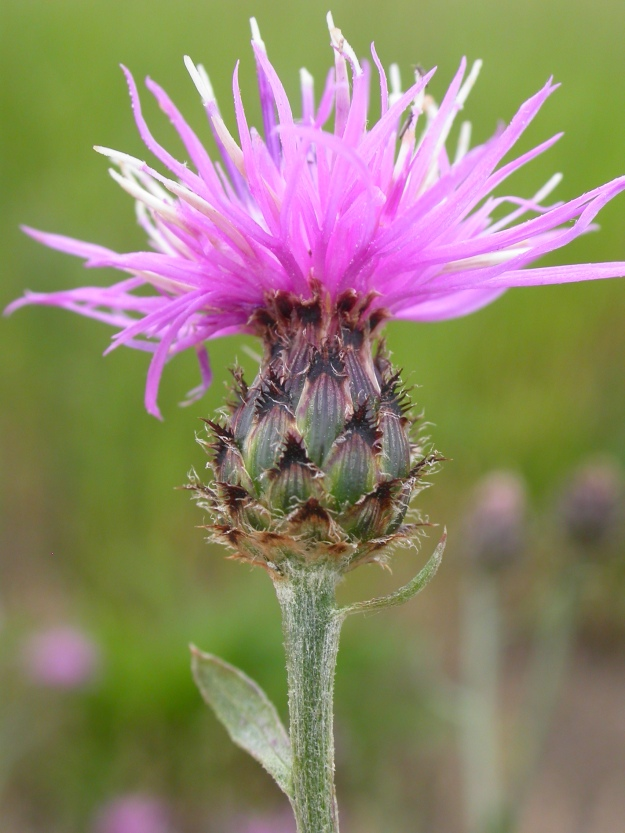 Photo Two By Matt Lavin from Bozeman, Montana, USA - Centaurea maculosa, CC BY-SA 2.0, https://commons.wikimedia.org/w/index.php?curid=14711862