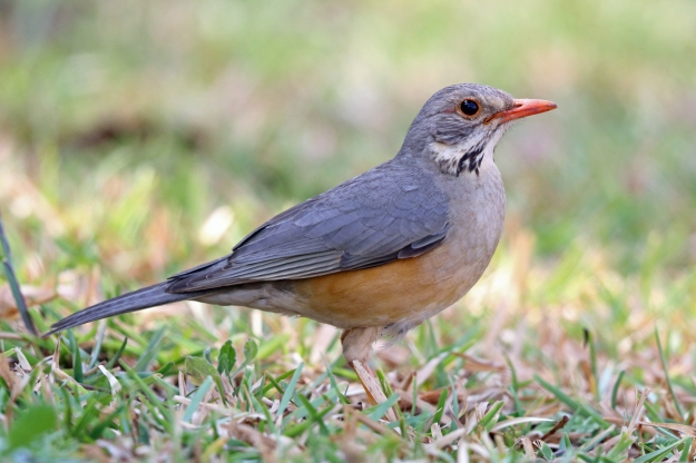 Photo Five by By Nigel Voaden from UK - Kurrichane Thrush, Sakania, DRC, CC BY-SA 2.0, https://commons.wikimedia.org/w/index.php?curid=39984848 Kurricane Thrush Turdus libonyana