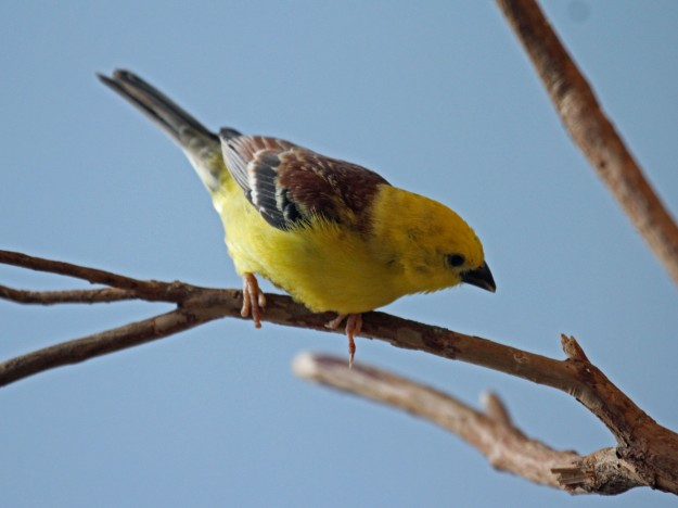 Photo Six by By DickDaniels (http://carolinabirds.org/) - Own work, CC BY-SA 3.0, https://commons.wikimedia.org/w/index.php?curid=21591358 Sudan Golden Sparrow Passer luteus