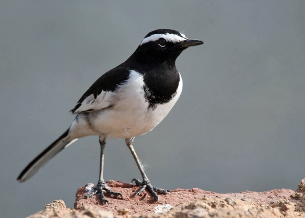 By J.M.Garg - Own work, CC BY-SA 3.0, https://commons.wikimedia.org/w/index.php?curid=2902937 White-browed wagtail Motacilla maderaspatensis