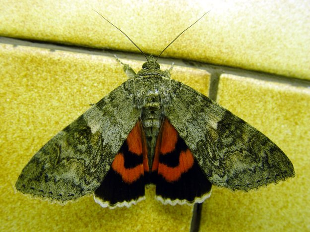 Photo Three byBy John de Haura - first uploaded to en wp by Lode (2006-07-30): Red underwing - catocala nupta (wings closed) Photographed by John de Haura Free to use, CC BY-SA 3.0, https://commons.wikimedia.org/w/index.php?curid=1509408