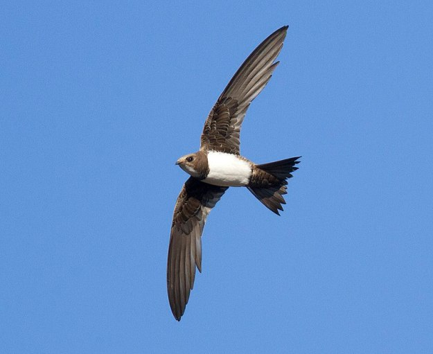 Photo One by By Lefteris Stavrakas - Βουνοσταχτάρα Alpine Swift Tachymarptis melba, CC BY-SA 2.0, https://commons.wikimedia.org/w/index.php?curid=66012392